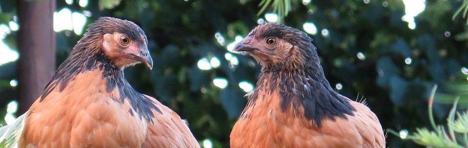 kippen houden in de tuin