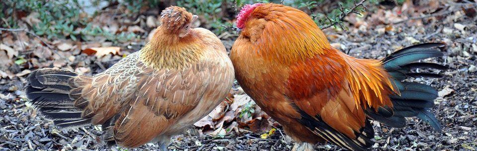 wat kost een kip
